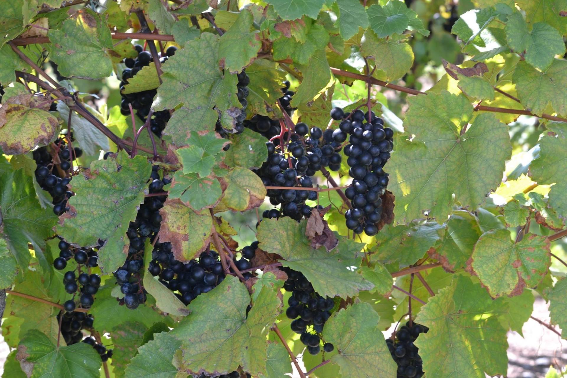 grapeswinery.jpg