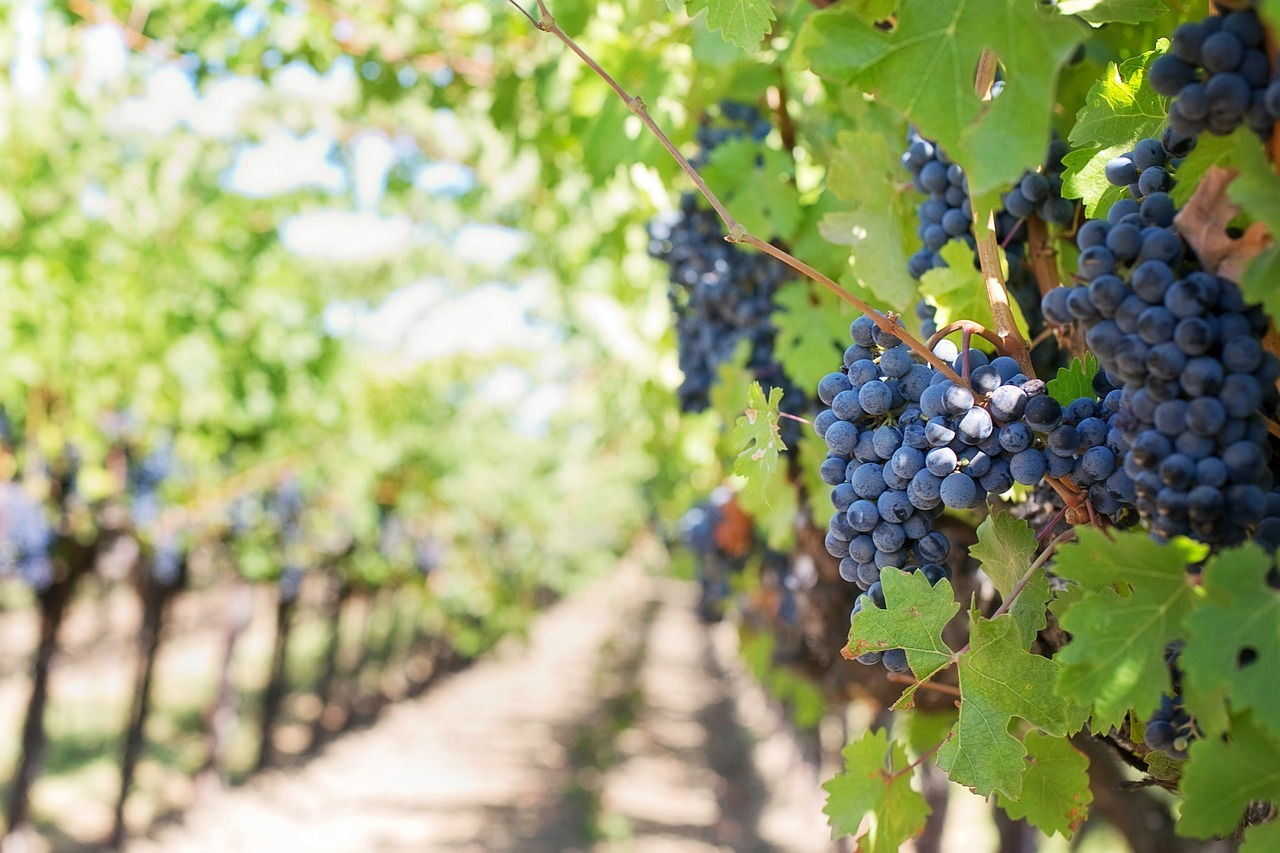 purple-grapes-553462_1280.jpg